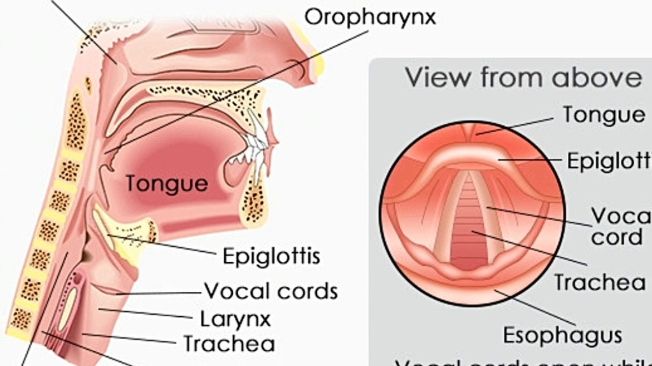 What is the Function of Vocal Cords - YouTube