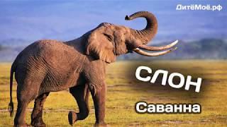 Слон. Энциклопедия для детей про животных. Саванна
