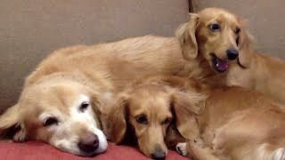 3 Cute Dachshunds Squeeze Sleep with Golden Retriever on Sofa!