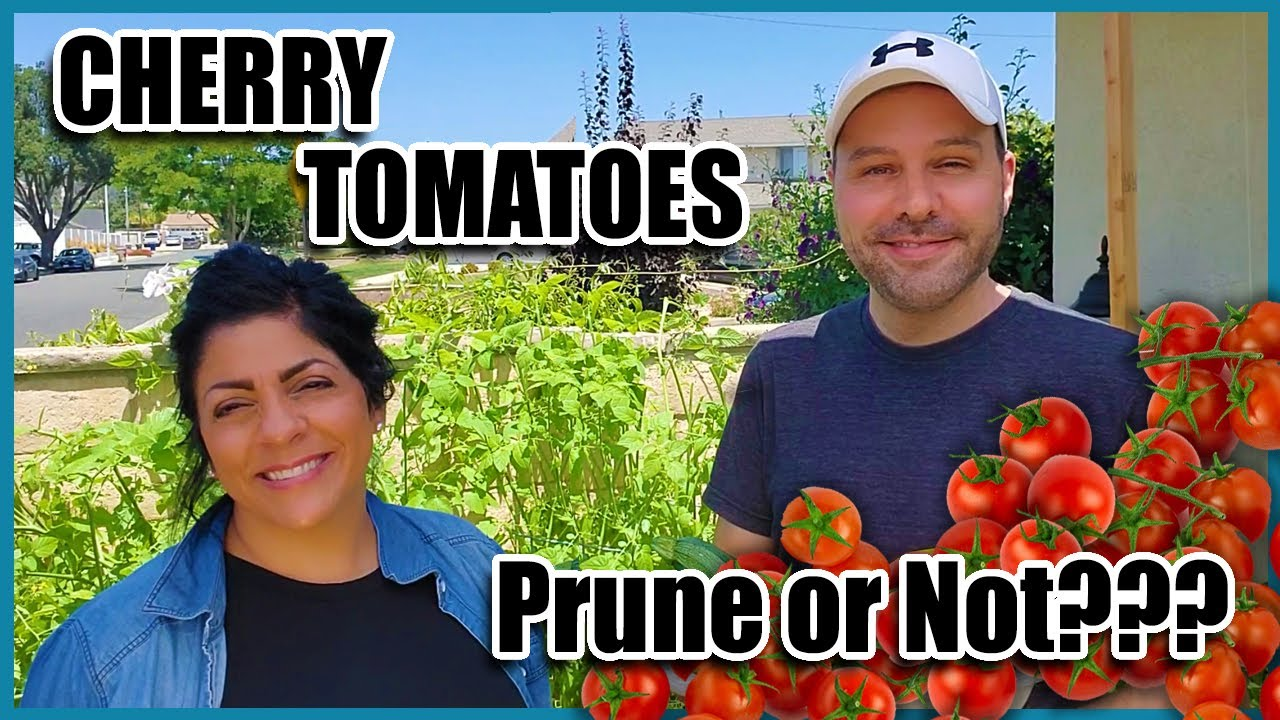How Do I Prune Cherry Tomatoes?  Do I Even Have to? How to Grow Cherry Tomatoes.