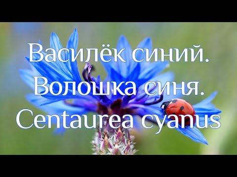 Васелек синий (волошки). Лечебные свойства и рецепты применения василька