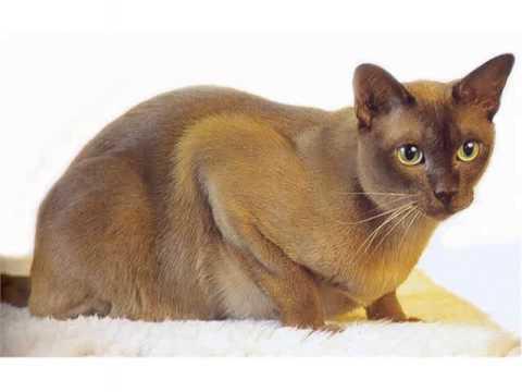 Burmese cats medium to large cat long hair cat