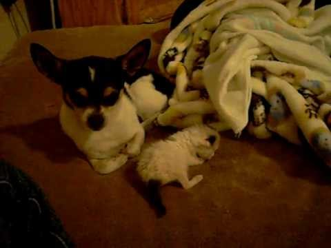chihuahua-saves-kitten-from-big-cat
