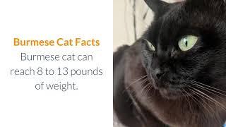 Various burmese cat facts