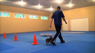 Brutus (yorkie) Boot Camp Dog Training Video