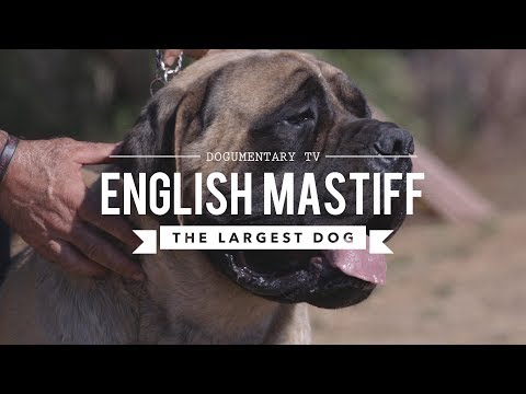ALL ABOUT THE ENGLISH MASTIFF THE WORLD'S LARGEST DOG