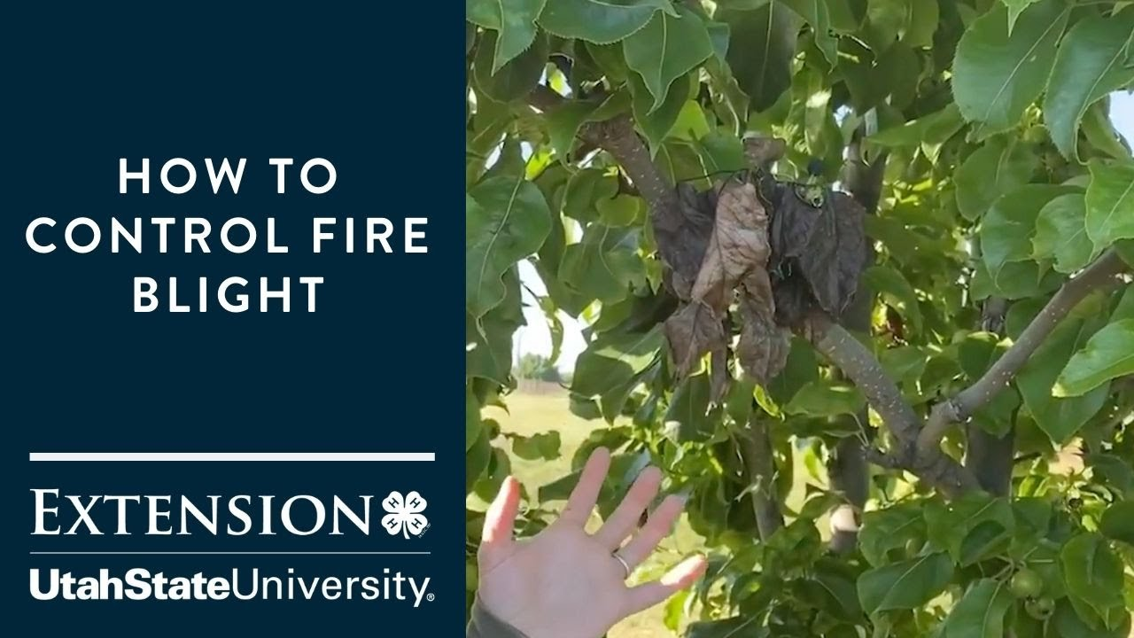 How to Control Fire Blight