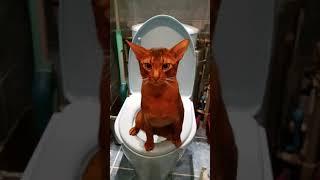 Абиссинский кот Серафим в туалете.Хищник. Abyssinian cat