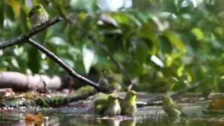 五月山ギネス記録~!メジロが最高12羽入浴していますビデオストップで数を確認してください。(笑)