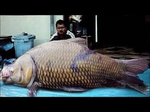 Ikan Nila Raksasa Di Kolam Youtube