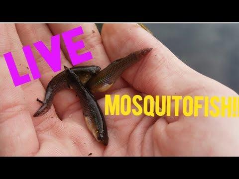 Fishing With Live Moquitofish (Redfin Pickerel Hunt #1)