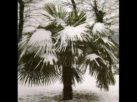 Комнатные пальмы Уход и особенности содержания