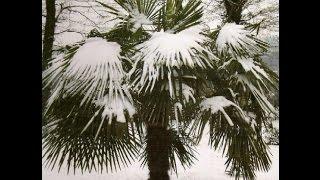 Комнатные пальмы  Уход и особенности содержания(Пальмы как домашние растения выращивают еще со времен Древнего Рима. Издавна считалось, что эта тропическа..., 2016-05-02T11:53:56.000Z)