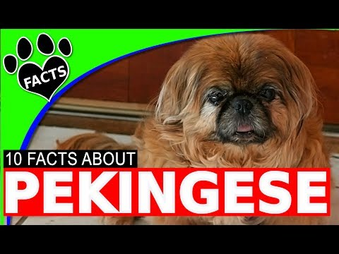Pekingese Dogs 101 Fun Facts and Information Most Popular Dog Breeds - Animal Facts