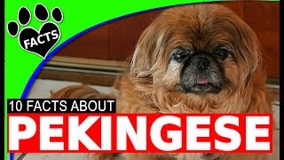 Dogs 101: Pekingese Fun Facts and Information Most Popular Dog Breeds - Animal Facts