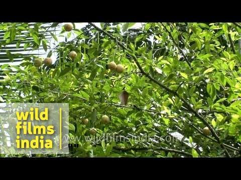 Nutmeg Plantation In Kerala Youtube