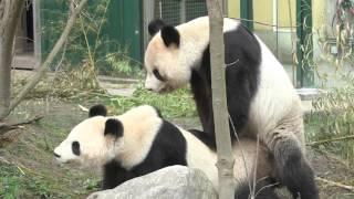 Pandas Mate at Schönbrunn Zoo, Vienna