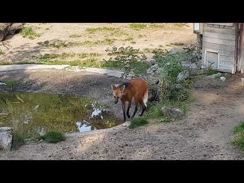 South American tapirs and maned wolves in a mixed enclosure