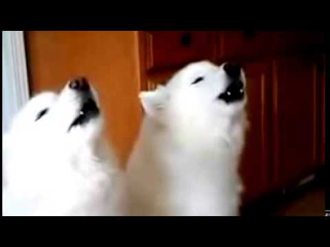 Funny Happy Birthday song by dogs must watch