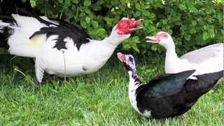 """Muscovy Ducks"" Documentary"