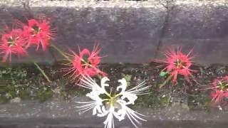 ヒガンバナ・阪急塚口駅~武庫之荘駅の間です 2016.10.30 最初の白い花...