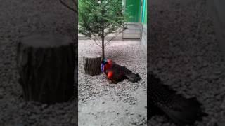 видео Трагопан-сатир