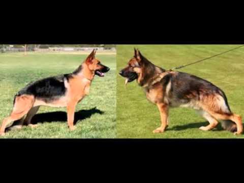 Baerental German Shepherd Puppies For Sale In Nh Youtube