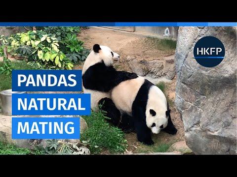 Hong Kong's pandas succeed in natural mating