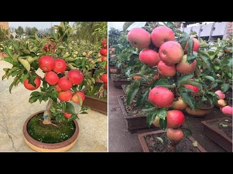 Growing Apples By Seeds In Pots At Home Easily