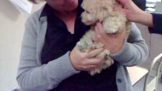 A Toy Poodle Puppy Visits The Contra Costa Times Newsroom