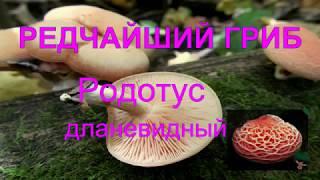 редчайший гриб. Родотус дланевидный. Rhodotus glandular
