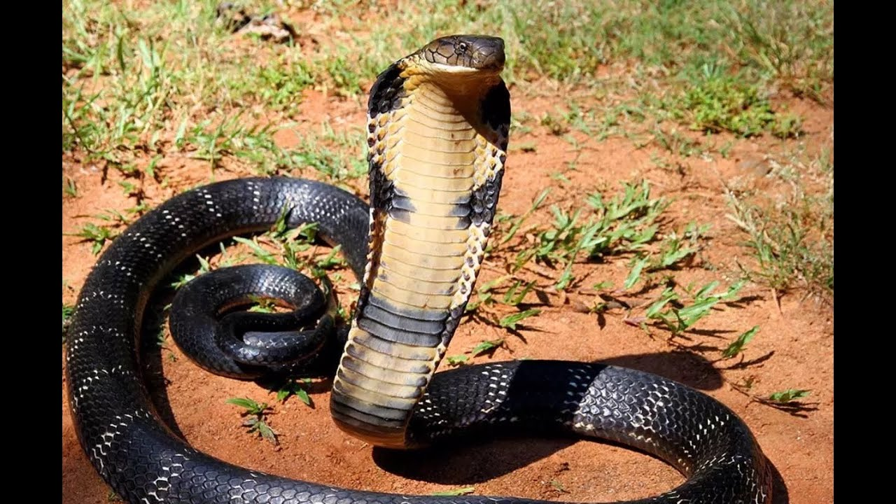 Top 10 SHOCKING Deadliest Venomous Snakes in the World ...