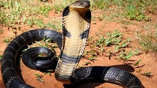 Cool Facts about the Most Dangerous Deadliest Venomous Snakes TheCoolFactShow Ep. 18