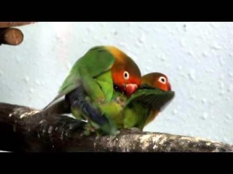 Mating. Fischer's Lovebird.ルリゴシボタンインコの交尾。