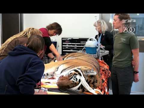 Oakland Zoo Veterinarians Perform Tiger Examination