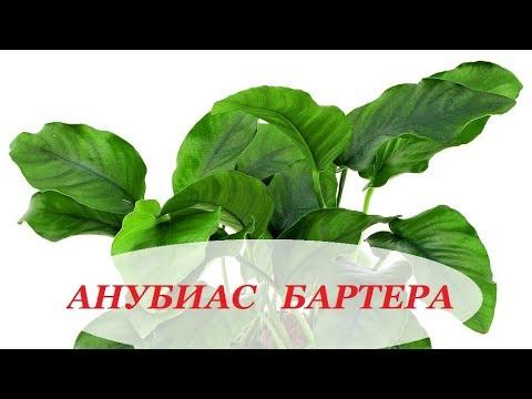 Аквариумное растение Анубиас Бартера, содержание в аквариуме, размножение, уход.