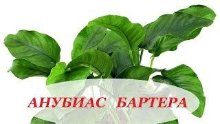 видео Анубиас Бартера кофейнолистный (Anubias barteri var. coffeefolia)