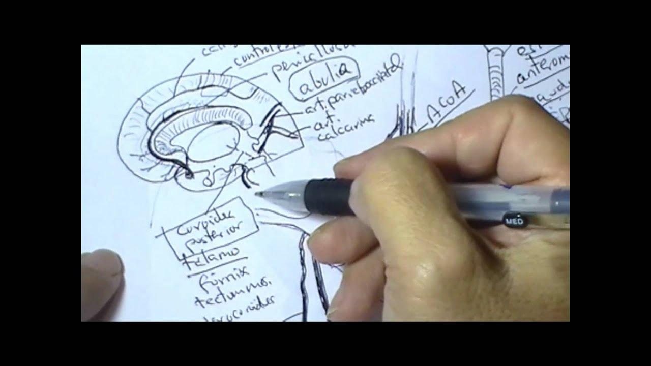 ANATOMIA CLINICA: ARTERIA CEREBRAL POSTERIOR - YouTube