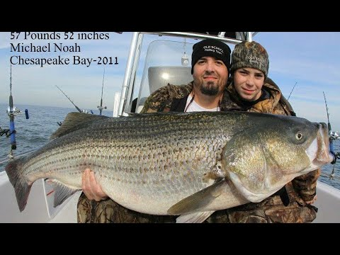 Striped Bass Fishing WORLD RECORD STRIPERS! 2 RECORDS AT ONCE!