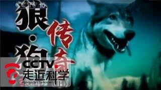 《走近科学》狼·狗传奇(上) 20101022 | CCTV走近科学官方频道