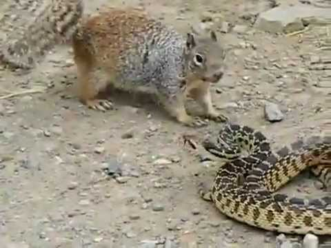 Snake Killer Squirrel