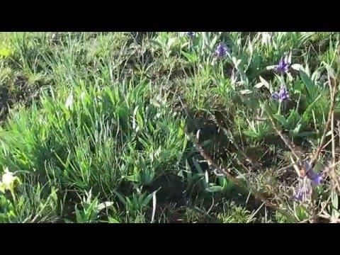 Ирис карликовый - Iris pumila - Описание таксона - Плантариум