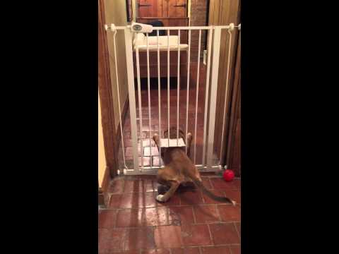 Our dog escaping through cat flap. Like a boss.