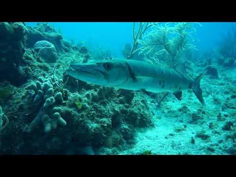Carefully approaching a barracuda