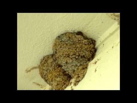 Avión Común,Nidos(Delichon urbicum).Common house martin.Nest.Mehlschwalbe.