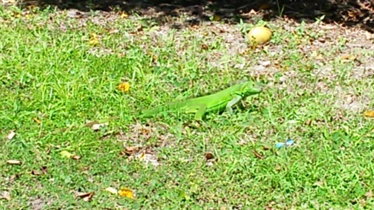 Sub Adult Male Green Iguana Foraging