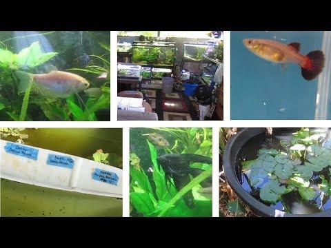Lots of Guppy Strains & Other Fish @ Hawaiian Outdoor Fish Room & Backyard