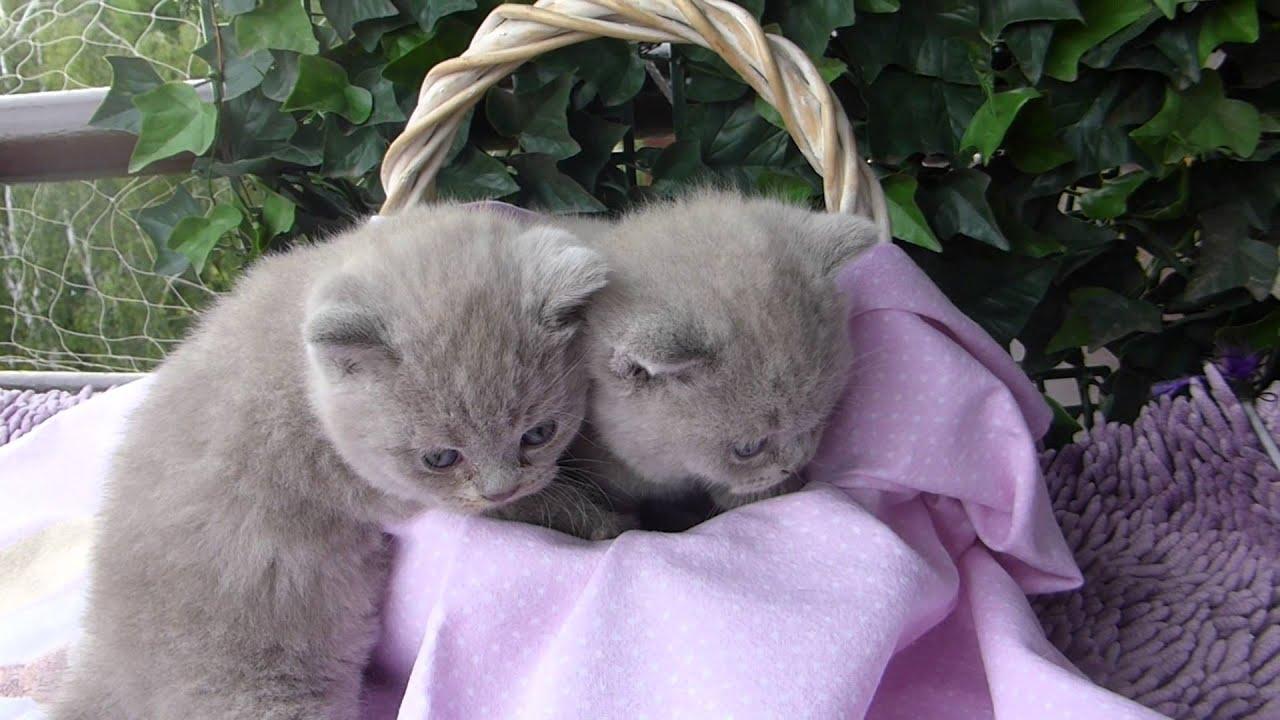 koty brytyjskie/ Hodowla kotów brytyjskich Lila Purr.Pl
