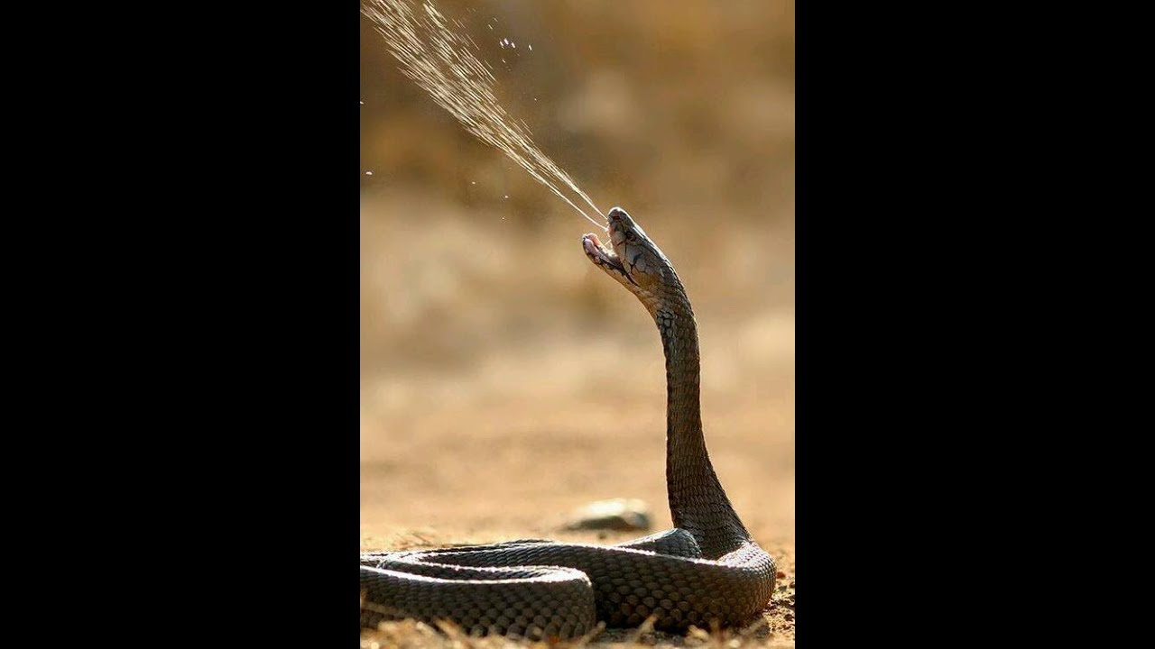 king cobra attack man youtube