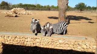 Safari Zoo Mallorca - Zebras